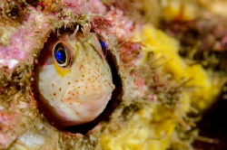 The chilean mussel Blenny (Hypsoblennius sordidus) lives ... by Thomas Heran